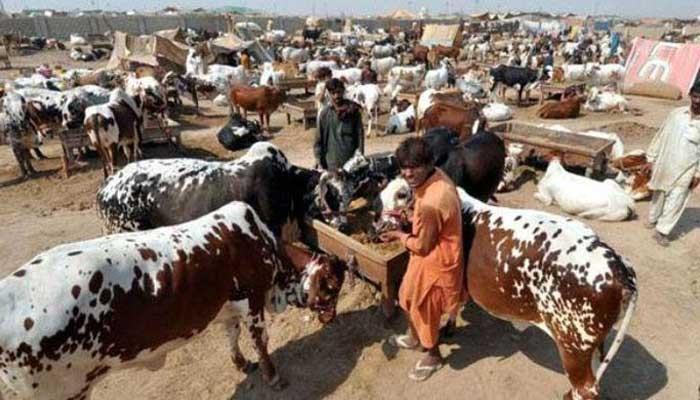 SOPs for the establishment of cattle markets for Eid-ul-Azha in the wake of the coronavirus outbreak.
